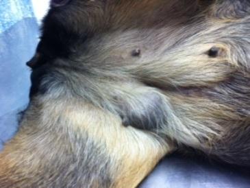 sintomas de cancer de mama em cadelas